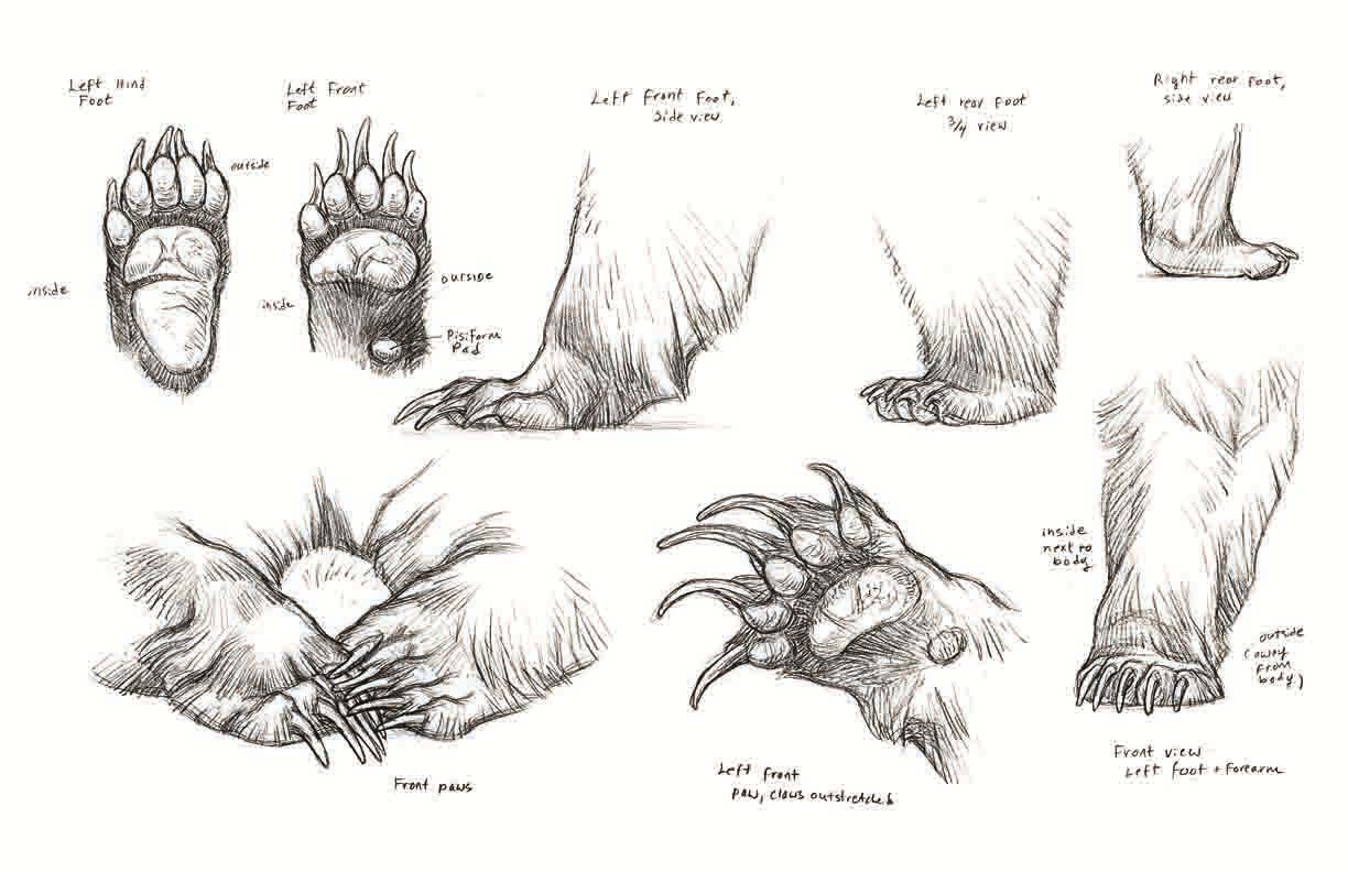 Bear paws drawing reference