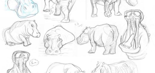 Hippopotamus drawing reference