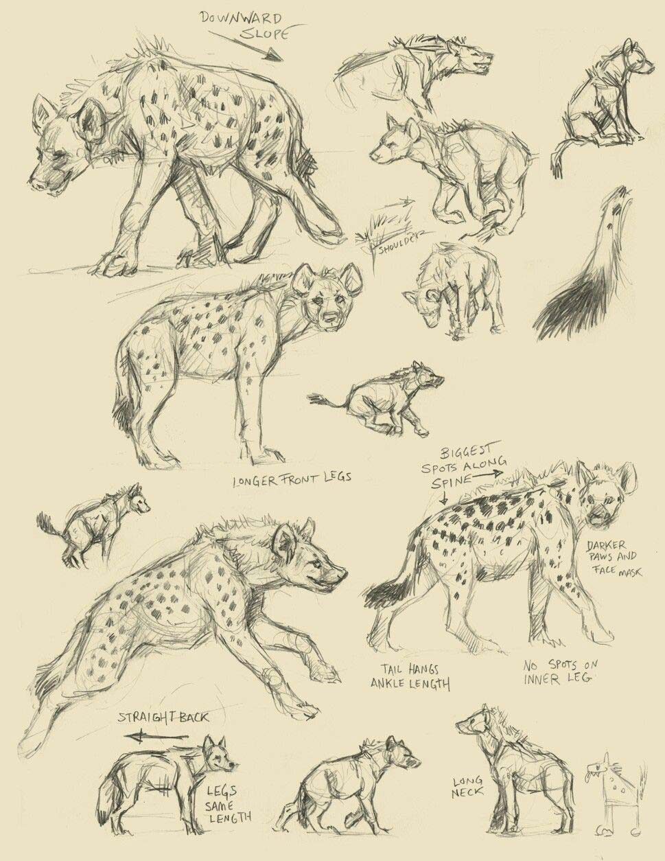 Hyena drawing reference