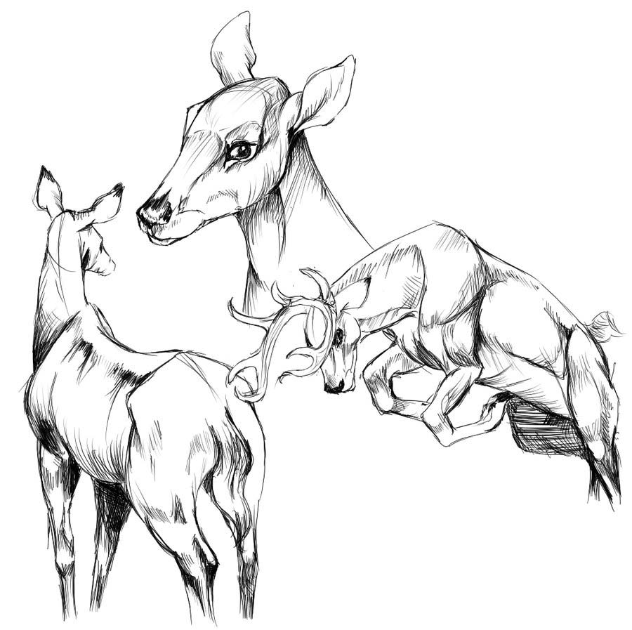 deer drawing reference