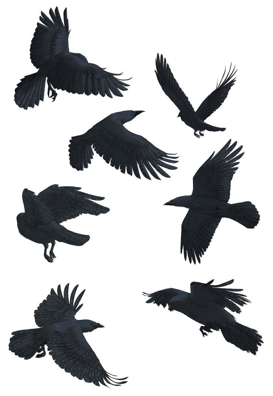 Crow drawing reference