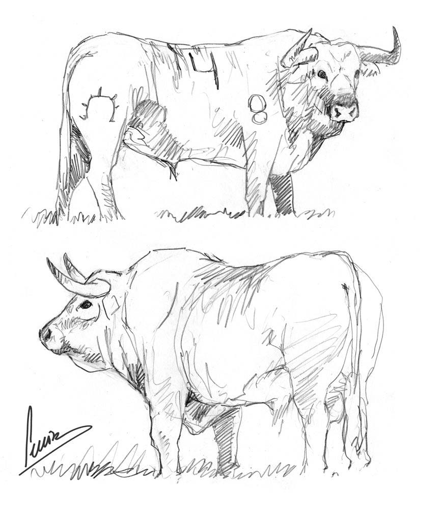 Bull drawing reference
