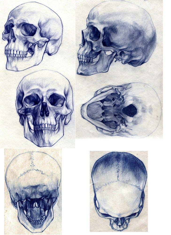 skull reference drawing