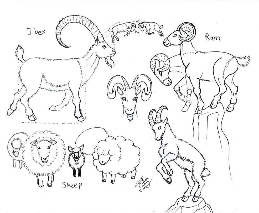 Sheep drawing reference