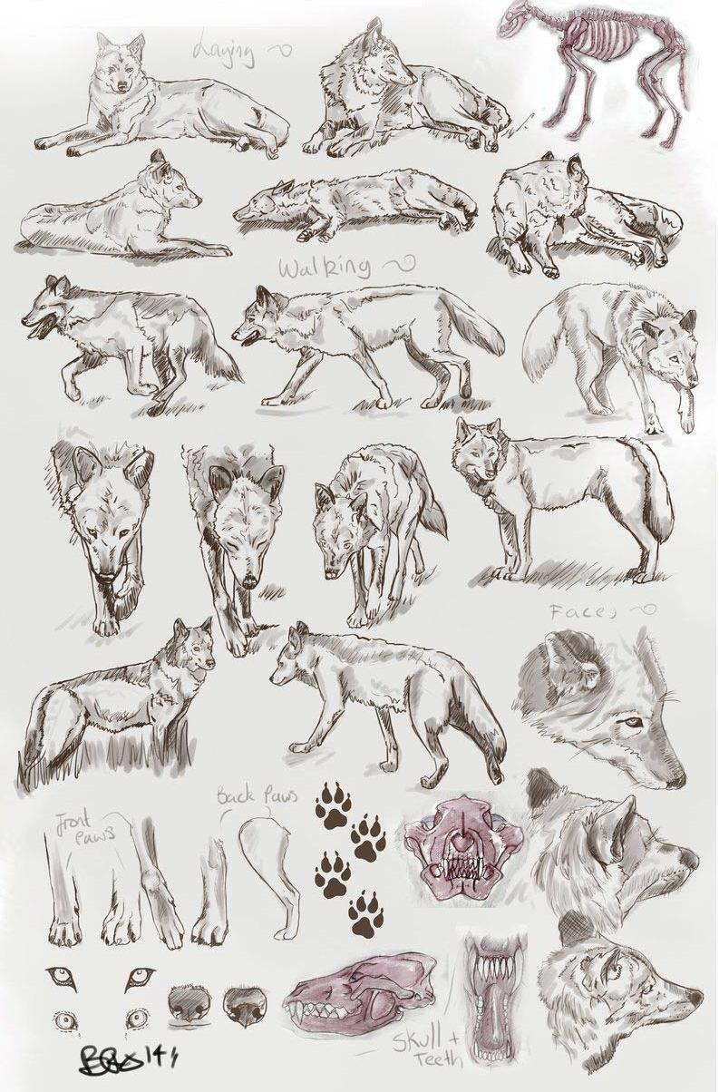 Wolf drawing reference