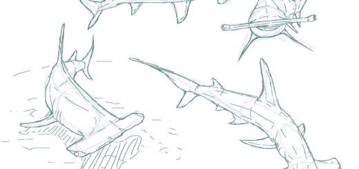 Hammerhead shark drawing reference