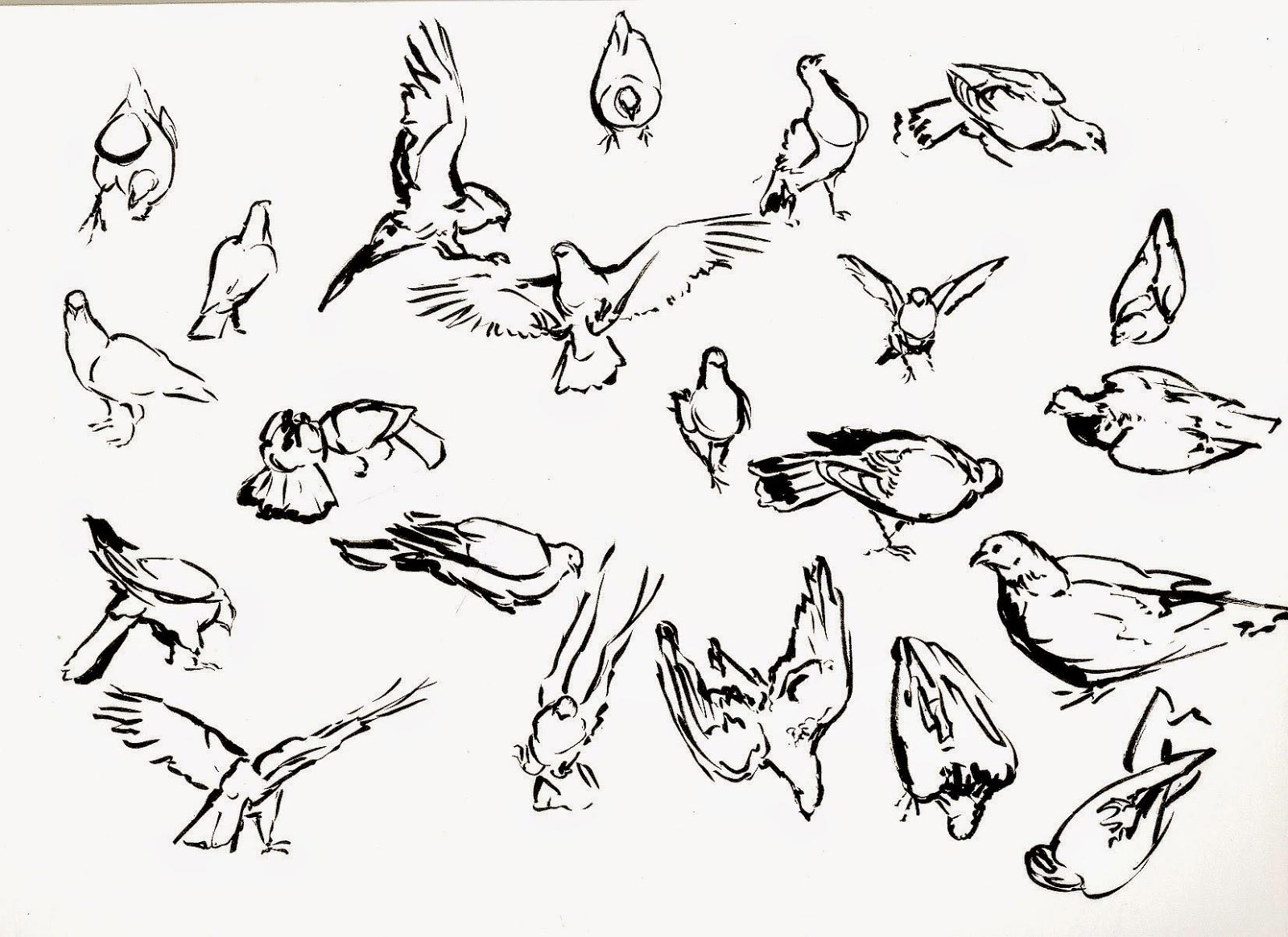 Pigeon drawing reference