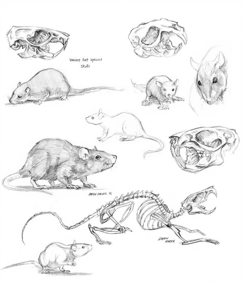 Rat drawing reference