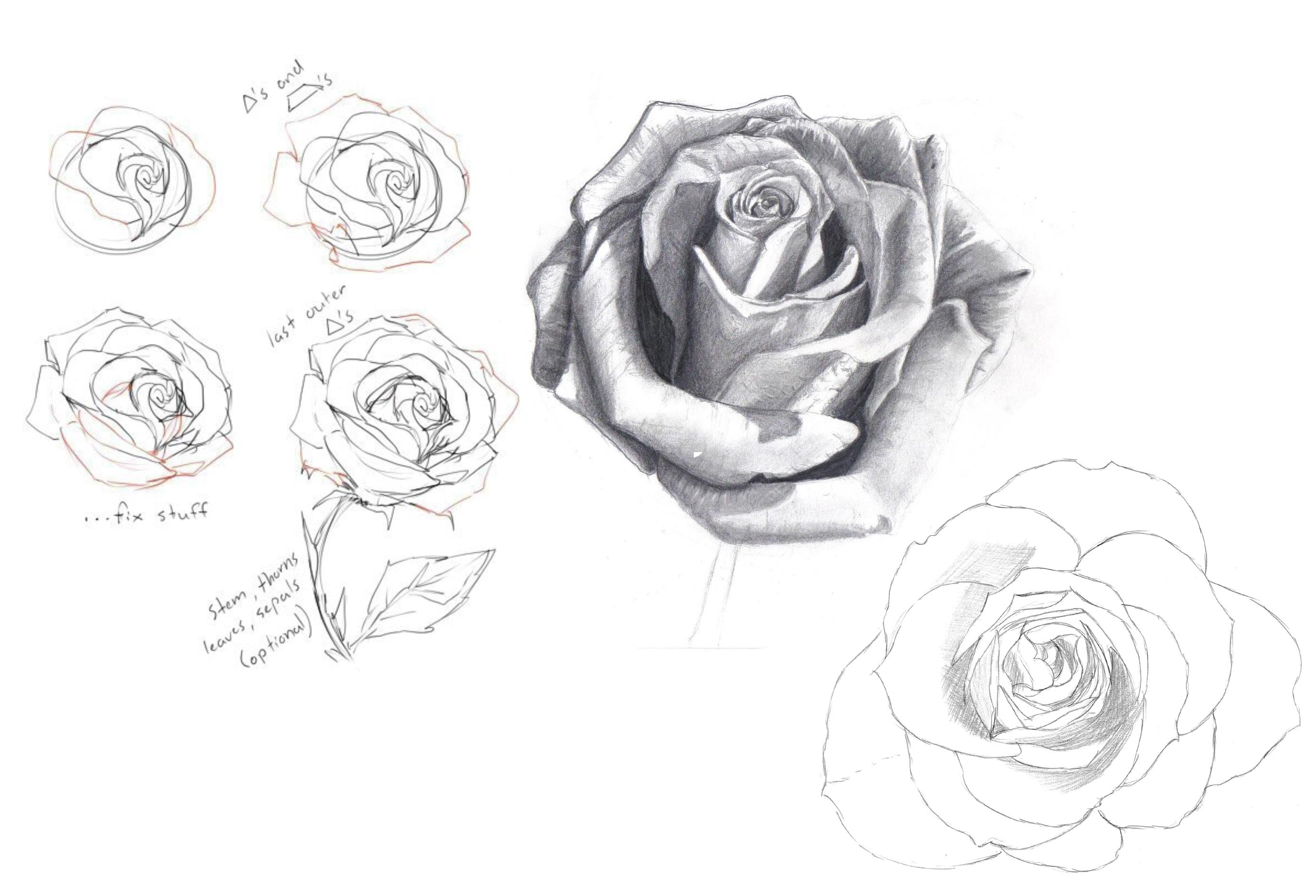 Rose drawing reference