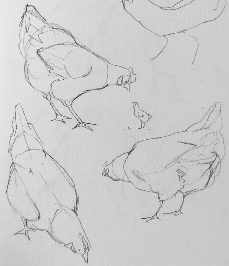 Chicken drawing reference