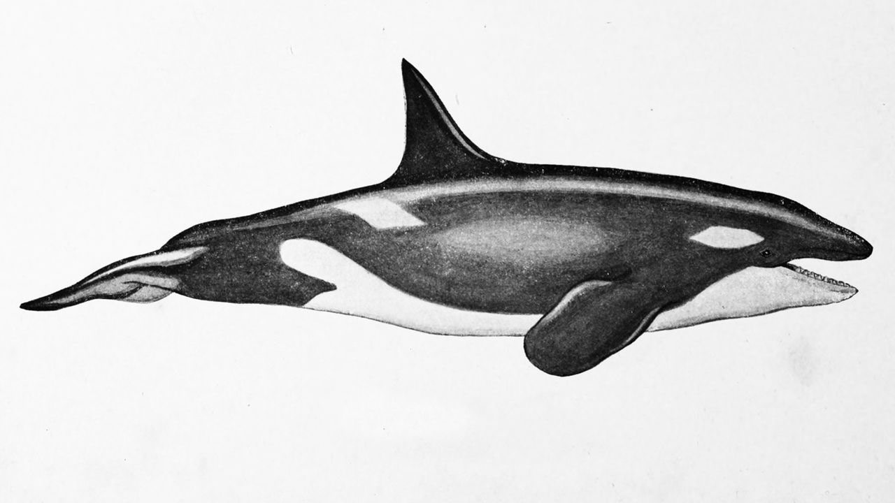 Orca drawing reference