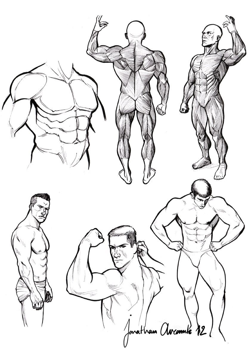 muscle drawing reference