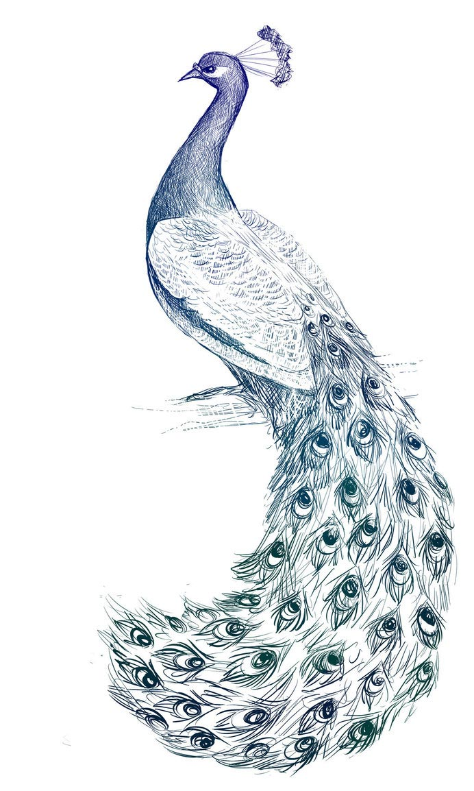 Peacock drawing reference