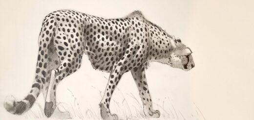 Cheetah drawing reference